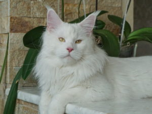 Ch.Rhean Santa CoolShade- maine coon male of hite solid color